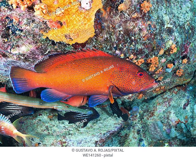 Coney Grouper, Cephalopholis fulva, EPINEPHELUS FULVUS, Los Roques, Venezuela