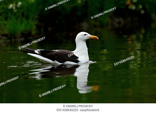 Kelp Gull, Larus dominicanus, water bird, Finland