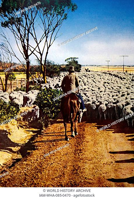 Photograph of a famer herding his sheep down a dirt road in Australia. Dated 20th Century