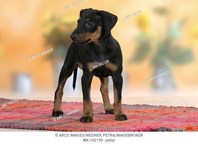 Manchester Terrier, puppy, 8 weeks