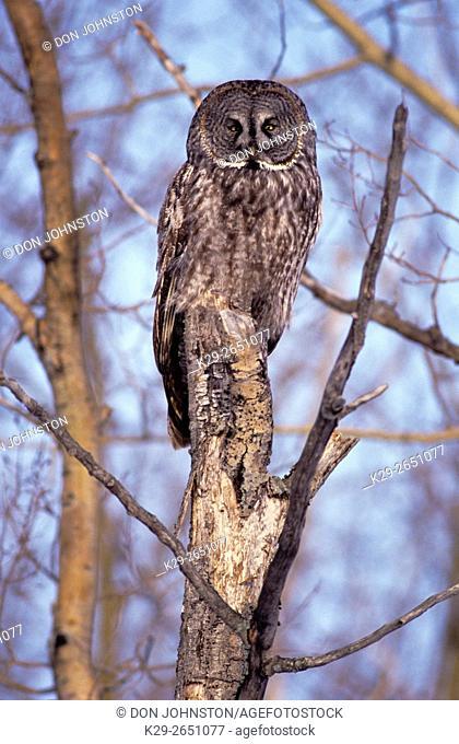 Great gray owl (Strix nebulosa) Winter migrant roosting in poplar tree in Northern Ontario, , Ontario, Canada