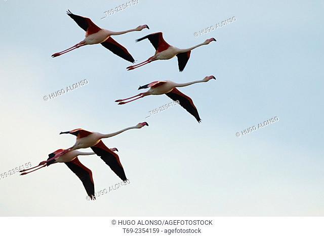 Greater flamingo Phoenicopterus roseus