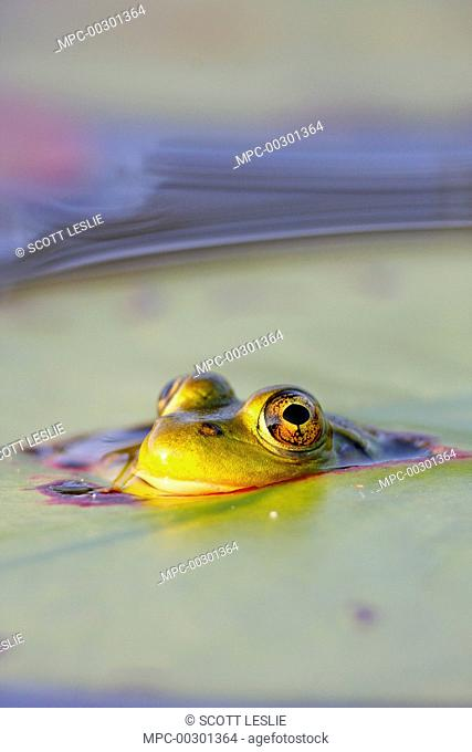 Mink Frog (Rana septentrionalis) peeking through hole in lily pad, West Stoney Lake, Nova Scotia, Canada