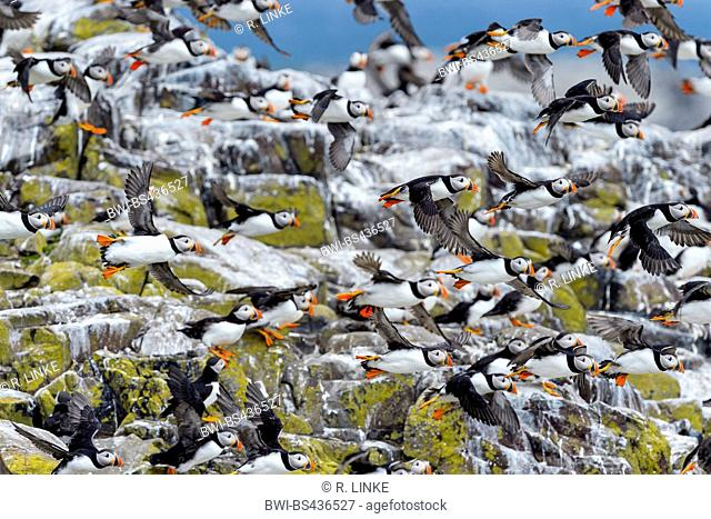 Atlantic puffin, Common puffin (Fratercula arctica), flying over colony, United Kingdom, England, Northumberland, Farne Islands