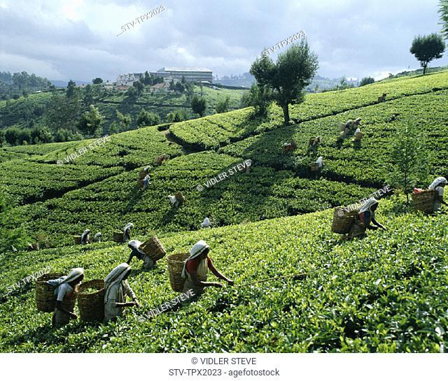 Fields, Holiday, Landmark, Nuwara eliya, Pickers, Sri lanka, Asia, Tea, Tourism, Travel, Vacation