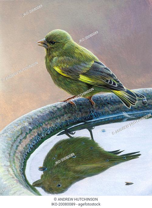 Close up of greenfinch reflected in birdbath