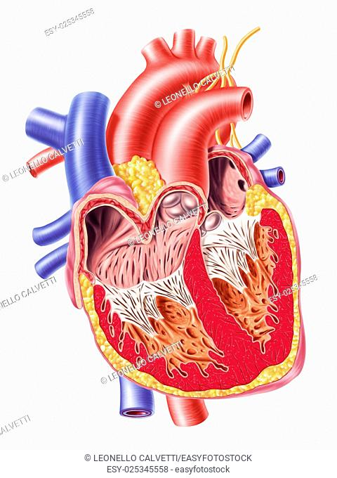 Human heart cross section, with detailed internal structure. 2 D digital illustration, on white background, with clipping path
