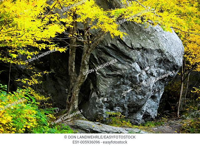 A maple tree in the fall with a large boulder, Stowe Vermont, USA