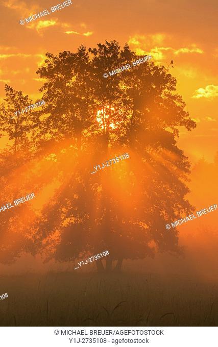 Tree (Black alder) in morning mist at sunrise, Hesse, Germany, Europe