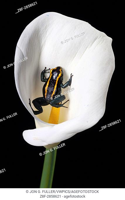 Golfodulcean Poison Frog, Phyllobates vittatus, on a calla lily. This frog secretes poisons in its skin for protection from predators