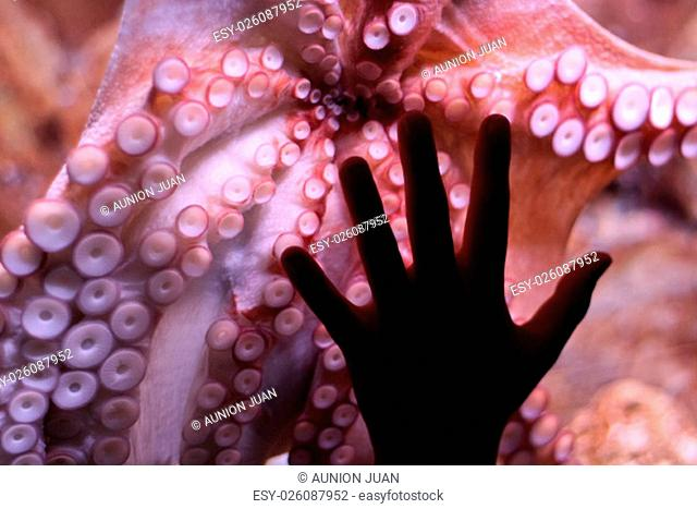 A child place his hand over octopus tentacles, in aquarium, Barcelona, Spain