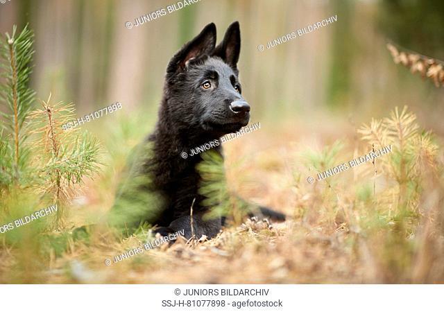 German Shepherd, Alsatian. Black puppy lying in a forest. Germany