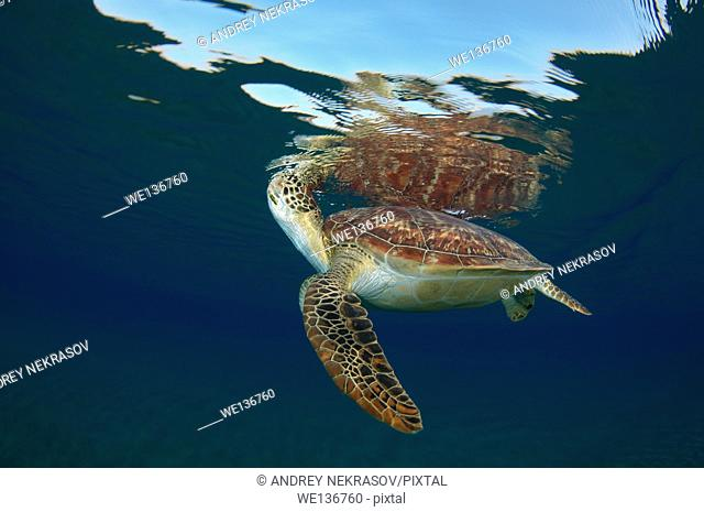 green sea turtle (Chelonia mydas) breathe on the surface of the water, Red sea, Marsa Alam, Abu Dabab, Egypt