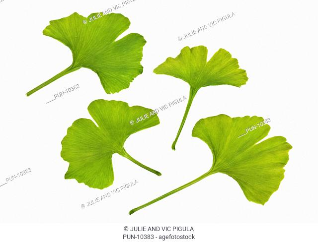 Green leaves of Ginkgo biloba tree on white background