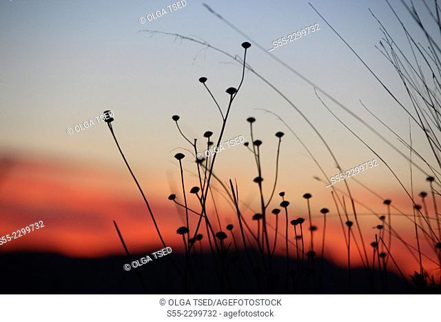 Dry plants in the sunset, Collserola mountain, Barcelona, Catalonia, Spain