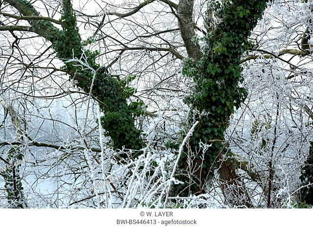 English ivy, common ivy (Hedera helix), foodplain of river rhine, trees and shrubs wuth hoarfrost and ivy, Germany, Baden-Wuerttemberg