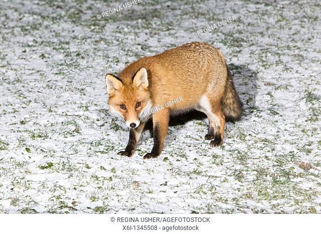 European Fox Vulpes vulpes, in garden, winter