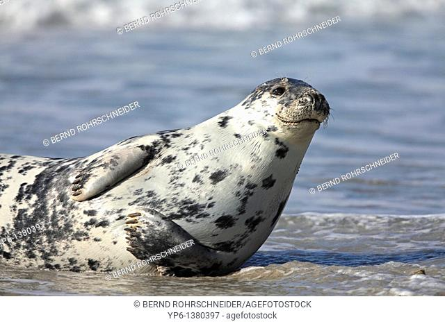 Grey Seal, Halichoerus grypus, lying on beach, Heligoland, Germany