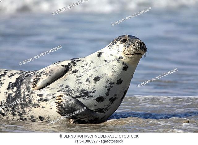 Grey Seal, Halichoerus grypus, lying on beach, Heligoland, Germany