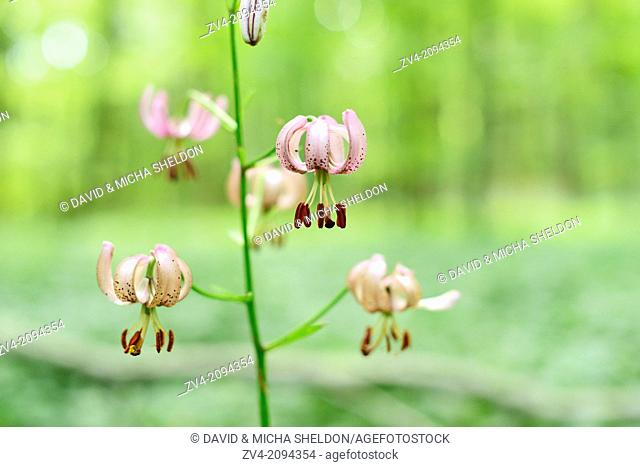 Martagon or Turk's cap lily (Lilium martagon) flowering in a forest in Oberpfalz, Germany