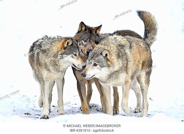 One-year old Eastern Wolf, Eastern timber wolf (Canis lupus lycaon), Young wolves playing in winter, Baden-Württemberg, Germany
