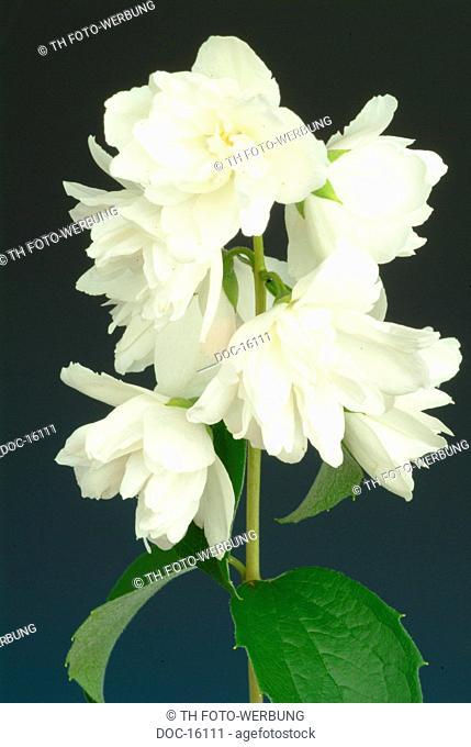 dried blossoms - Teejasmin - Gelsemium sempervirens - Jasminum officinale - Jasmine - Jessamine - medicinal plant - teaplant - scent plant - Gelsomino Jasmin
