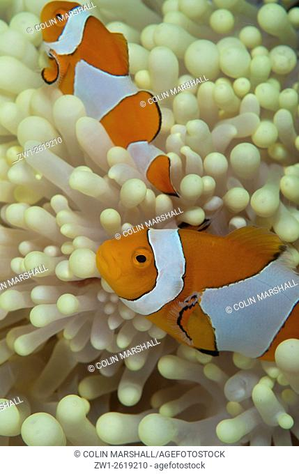 False Clown Anemonefish (Amphiprion ocellaris) pair in Magnificent Sea Anemone (Heteractis magnifica), Barracuda Rock dive site, Fiabacet Island