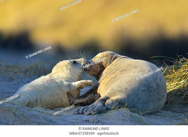 Grey Seal, Halichoerus grypus, Female wih Pup, Helgoland, Dune, North Sea, Island, Schleswig-Holstein, Germany