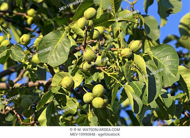 Juglans Walnut on tree Bas-Rhin France