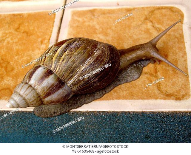 Amphidromus large snail on tile floor in Koh Kong, Cambodia