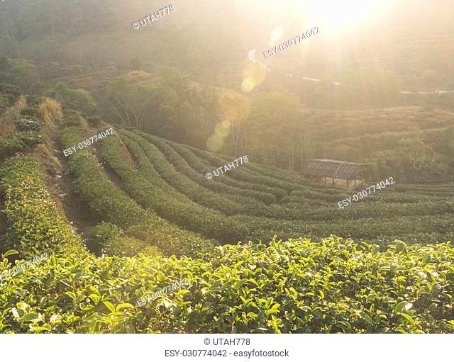 Tea plantation on the mountain with morning sun light causes Fairview beautiful, Doi Ang Khang, Chiang Mai, Thailand