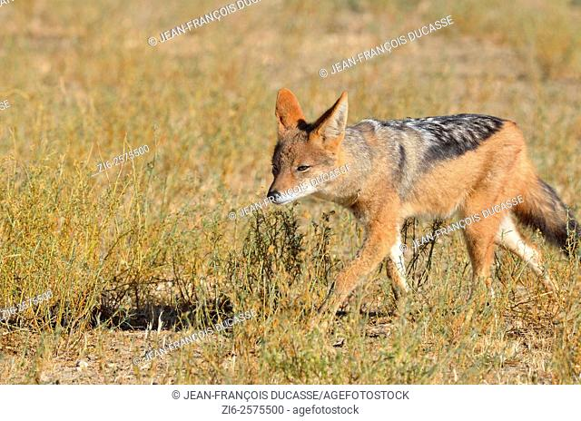 Black-backed jackal (Canis mesomelas), walking in the morning light, Kgalagadi Transfrontier Park, Northern Cape, South Africa, Africa