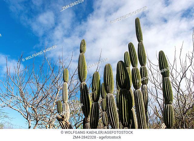 Candelabra Cactus on San Cristobal Island (Isla San Cristobal) or Chatham Island, Galapagos Islands, Ecuador