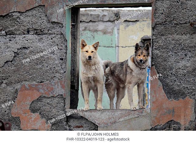 Domestic Dog, Spitz-type sledgedogs, two adults, standing at window of derelict bulding in coastal settlement, Nikolskoye, Bering Island, Commander Islands