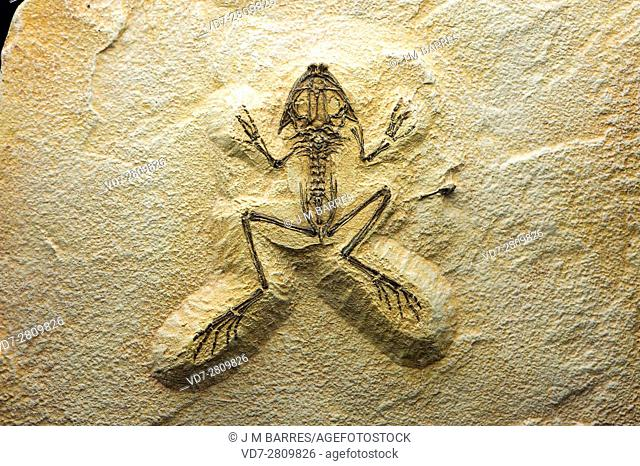 Fossil frog (Eopelobates sp. ) of Eocene. This sample comes from France