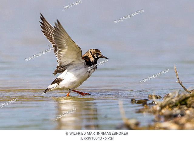 Ruddy Turnstone (Arenaria interpres) with stretched wings, Texel, West Frisian Islands, province of North Holland, Holland, The Netherlands