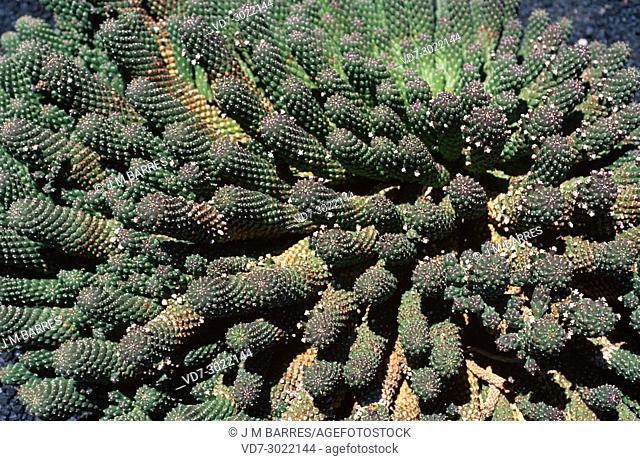 Medusa head (Euphorbia caput-medusae) is a succulent shrub endemic to South Africa