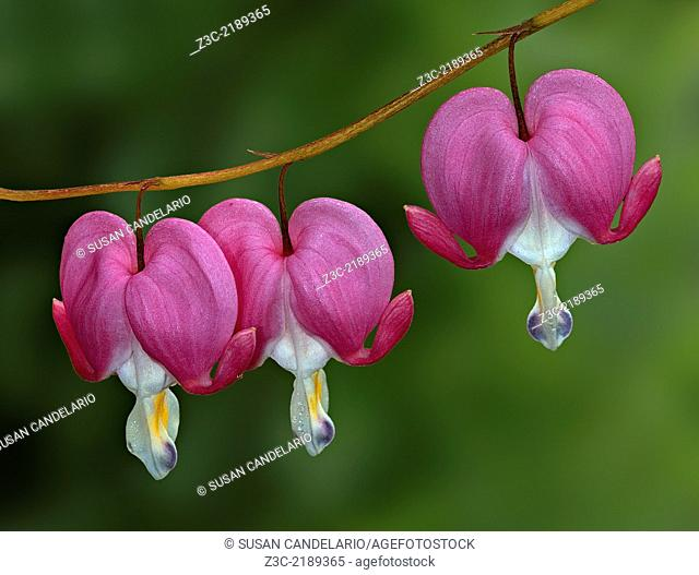 Macro photograph of three bleeding heart flowers isolated with a clean out of focus green foliage background