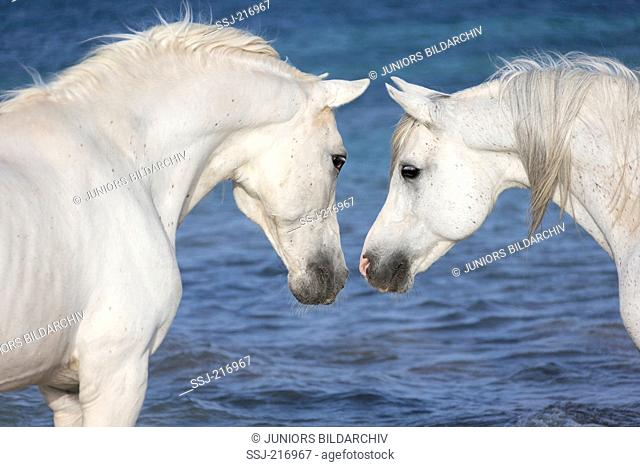 Arabian and Barb Horse. Two gray stallions with their heads together. Tunisia