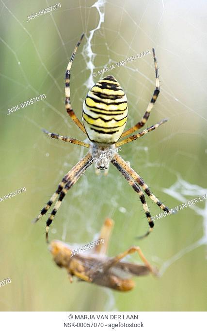 Female Wasp Spider (Argiope bruennichi) with caught prey (Grasshopper) in her web, The Netherlands, Gelderland
