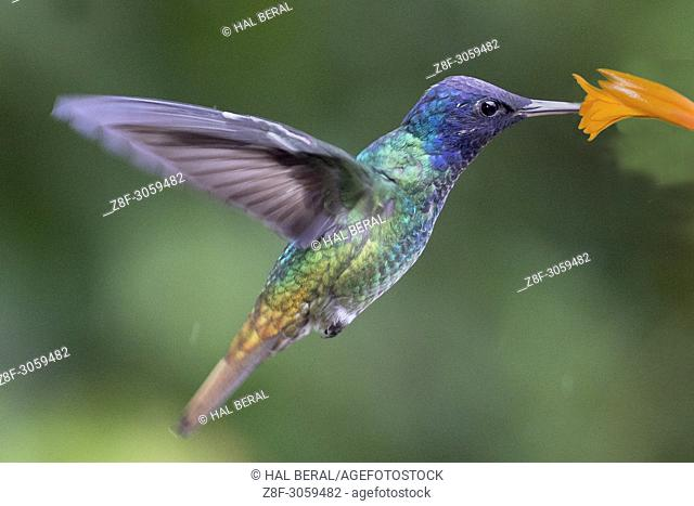 Golden-Tailed Sapphire Hummingbird male feeding on flower (Chrysuronia oenone). Ecuador