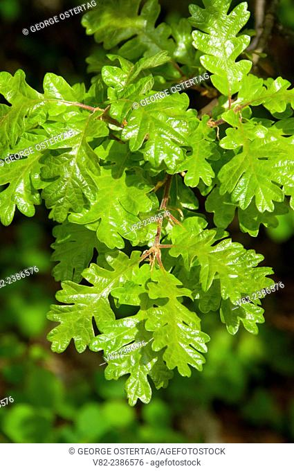 Oregon white oak leaves, William Finley National Wildlife Refuge, Oregon