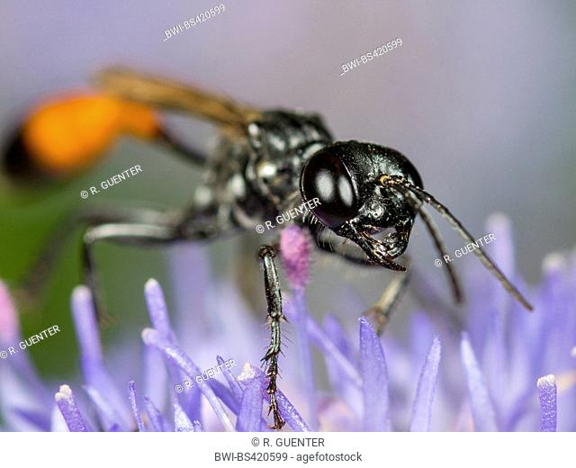 Field Sand Wasp (Ammophila campestris), Female foraging on Sheep's Bit Scabiosus (Jasione montana), Germany