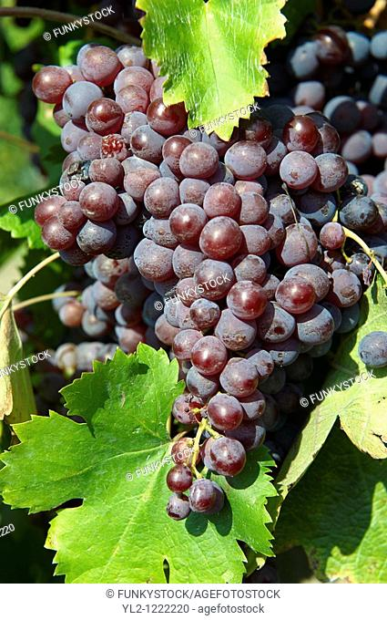 Red grapes on the vines in the vineyards of Hajos Hajós Hungary