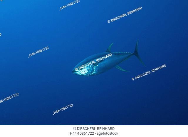Yellowfin Tuna, Thunnus albacares, Seawater fishes