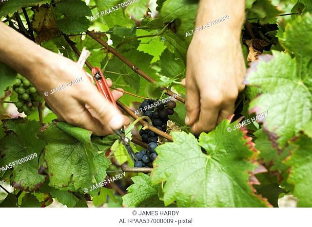 Hands cutting grapes from vine, close-up