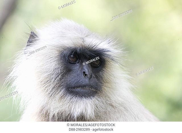 Asia, India, Rajasthan, Ranthambore National Park, Northern plains gray langur or Hanuman Langur (Semnopithecus entellus)