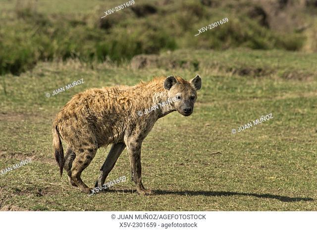 Spotted Hyena. Crocuta crocuta. Masai Mara NP