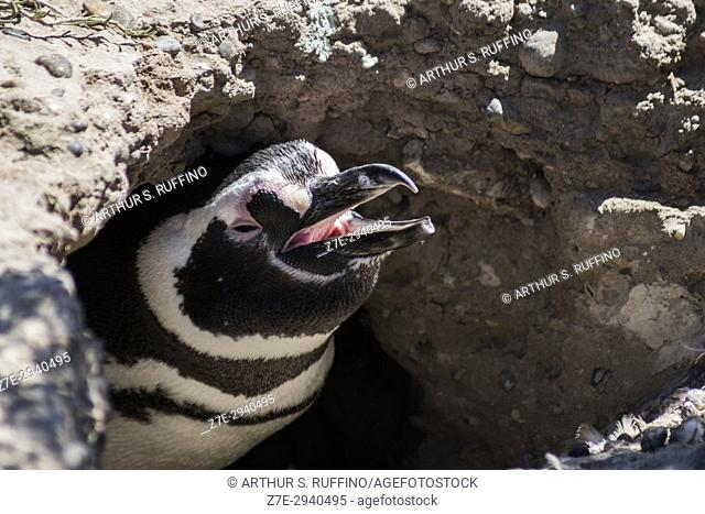Magellanic penguin in its nest. Punta Tombo Penguin Rookery, Punta Tombo National Reserve, Chubut Province, Puerto Madryn, Argentina, South America