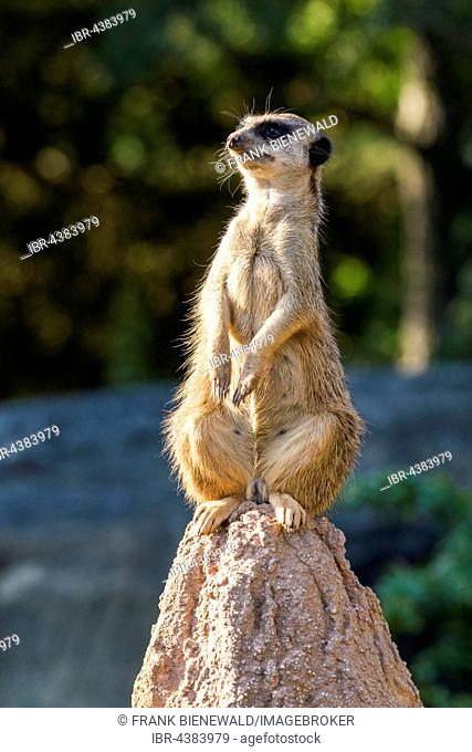 Meerkat (Suricata suricatta), sitting on a rock, watching out, captive, Leipzig, Saxony, Germany